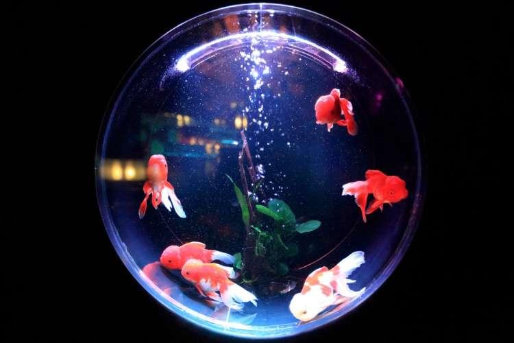 MasterMind Goldfishbowl